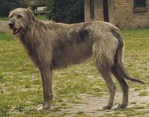 Irish_Wolfhound_Sam